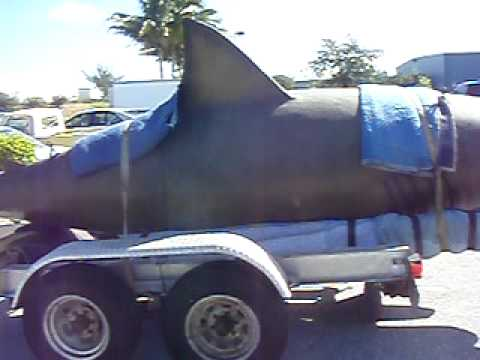 Largest Shark Ever Seen http://maryldonner.com/9/largest-shark-ever