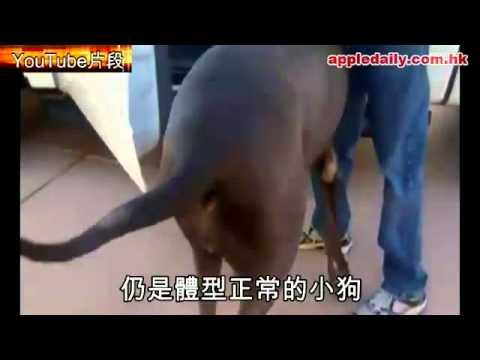 全球最大狗 一直以為係合成圖 原來是真的