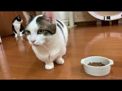 頑なにお皿で食べない猫 видео