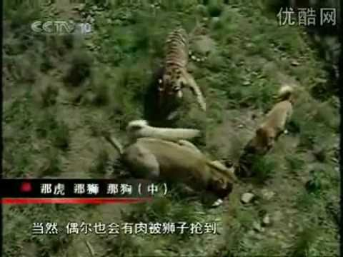 KANGAL - They are not fighting. This video only shows how brave & strong Kangal Dogs are. A Kangal Dog is a Turkish breed of domestic dog and is the national breed of...