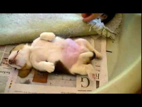 超萌的反應會令你愛上牠!這隻熟睡的小狗被搔肚子!!
