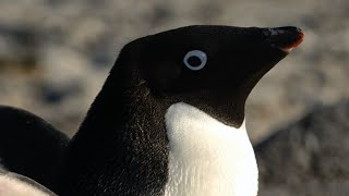 The Explosive Physics of Pooping Penguins | Simon's Peculiar Portions