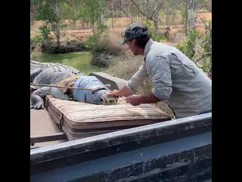An Australian crocodile wrangler has captured and relocated a five-metre croc that was preying on .