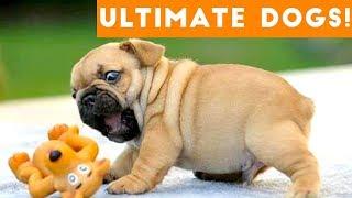 Video Ultimate FUNNY DOG Compilation of 2017 | Funny Pet Videos MP3, 3GP, MP4, WEBM, AVI, FLV Februari 2018