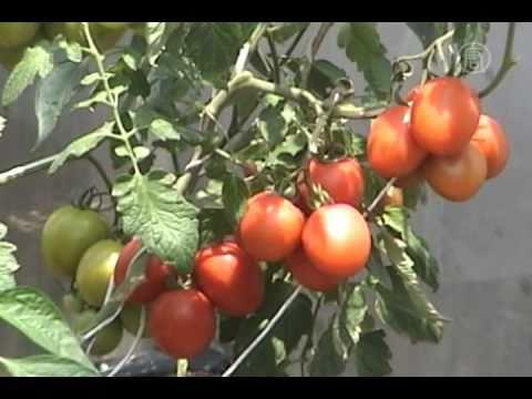 Hidroponia, cultivos sin tierra