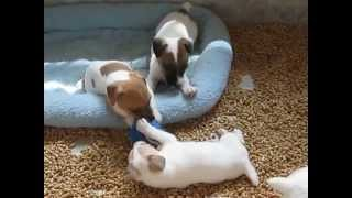 Jack Russell Terrier Puppies YouTube video