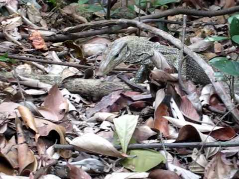 Monitor Lizard Foraging In The Wild At MacRitchie Reservoir