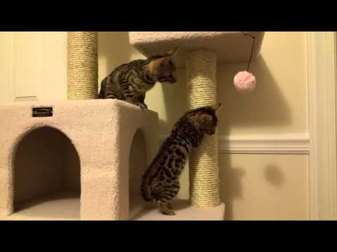 Loki and Freya Explore the Cat Tree