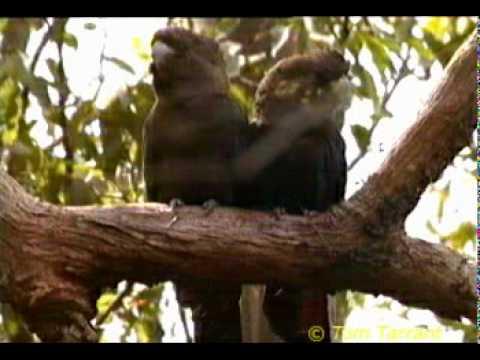 Glossy Black-Cockatoo (Calyptorhynchus lathami)