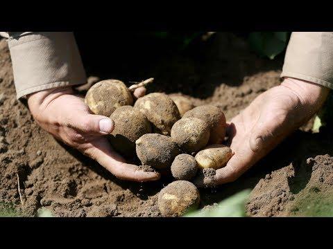 50 Prozent teurer: Trockener Sommer treibt Kartoffelp ...