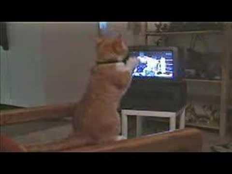 Gato Viendo Boxeo