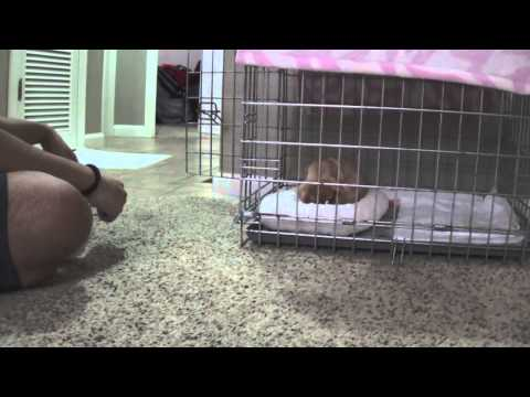 Crate traning – Chihuahua Puppy
