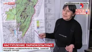 Rusya'da aç kalan Domuzları eliyle besledi