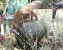 Somali Somali leker med vannfontene