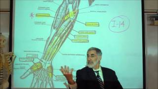 ANATOMY; MUSCLES THAT MOVE THE LOWER ARM&HANDS By Professor Fink
