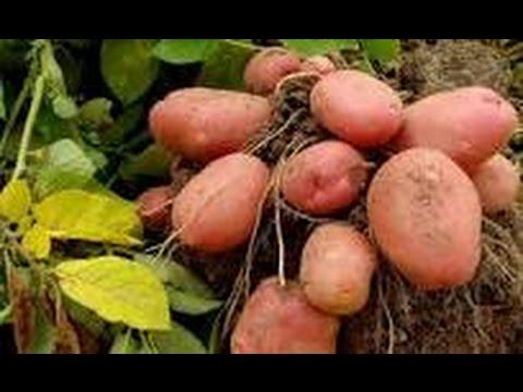 Potato Harvest Part 2