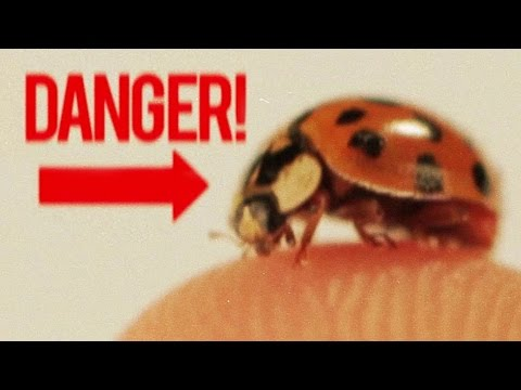 Facts - When it comes to bugs, who's the most badass? LADYBUGS, that's who! Check out more awesome videos on BuzzfeedYellow https://www.youtube.com/user/BuzzFeedYellow MUSIC Shafted / Chilblain ...
