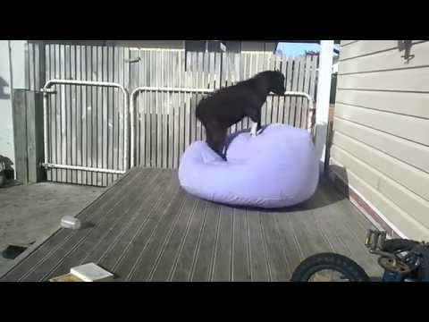 Goat on a blow up chair!