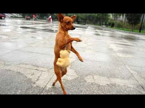 Nobody passed this LAUGH challenge YET -  FUNNY DOG videos (видео)