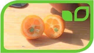 Ovale Kumquats: Ernten und degustieren