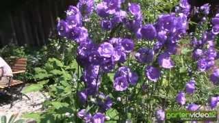 #1247 Glockenblume - Campanula persicifolia blue bloomers