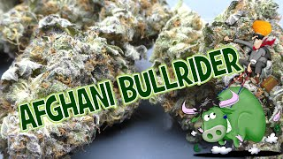 Afghani BullRider Strain Review by Urban Grower