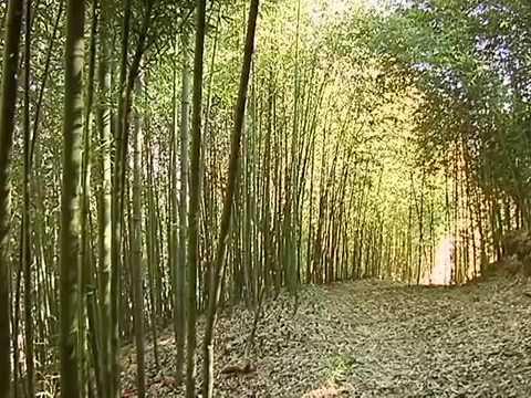 Bambu de la suerte reproduccion videos videos - Reproduccion del bambu ...