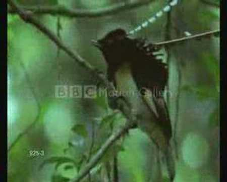 Bird Courtship Dances to Zorba The Greek Music