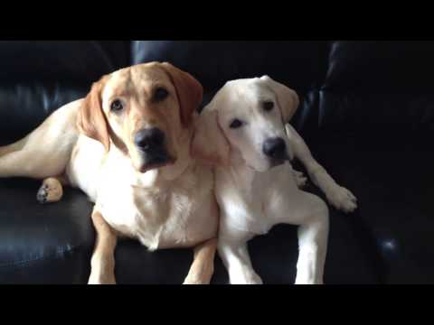 Cute Lab Puppies Making Funny Face – Phucche & Bhunte