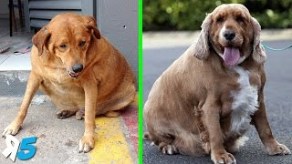You Won't Believe Some of These Fat Dogs from around the world, we take a look at the 6 Fat Dogs You Won't Believe Exist!Click Here To Subscribe! http://bit.ly/Random5       ↓↓↓↓↓↓Give us a like and share the video with friends.Legality Agreement Background music – YouTube Audio LibrarySongName – Fat Caps - AudionautixThis work is licensed under a Creative Commons Attribution 3.0 Unported License. http://creativecommons.org/licenses/b...If you liked the video, please subscribe for more videos every week!Subscribe HERE: http://bit.ly/Random5Like us on Facebook – http://www.facebook.com/random5media