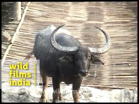 Wild water buffalo (Bubalus arnee)