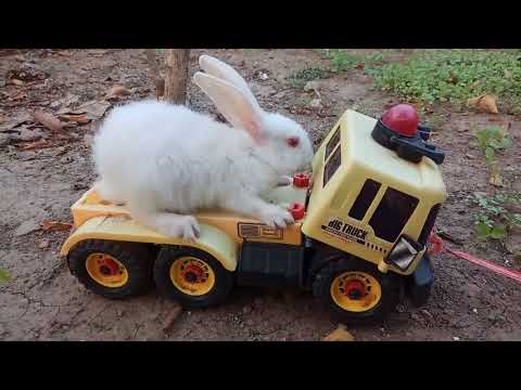 Bermain kelinci naik mobil | PLAYING WITH RABBITS | chơi thỏ