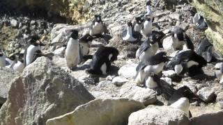 Three Rockhopper Penguins with their chicks on New Island in the Falklands.