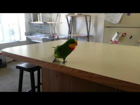 Flubber Superb Parrot