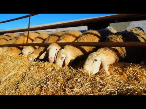 Mezcla nutricional ovina