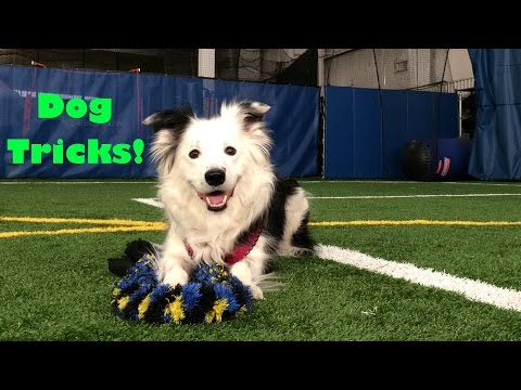 15 Cute Dog Tricks by Paige the Border Collie