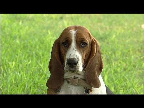basset hound: really special dog!