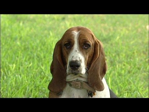 il basset hound: un cane veramente speciale!