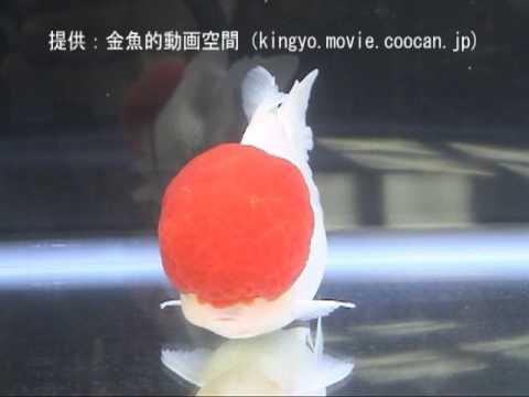 [丹頂]第27回日本観賞魚フェア 親魚の部 優勝:森村 敏樹氏持魚