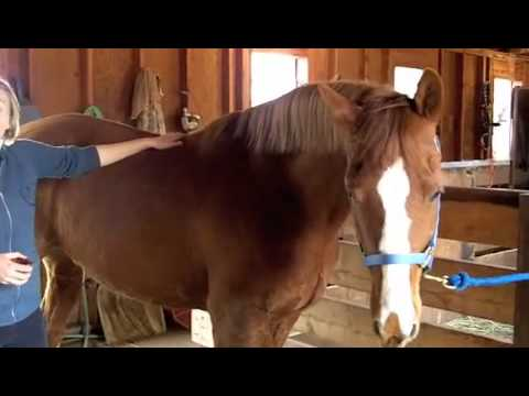 how to measure a horse's height