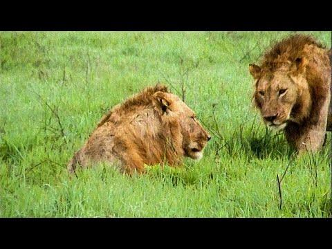 Extraordinary Lion Hunt Filmed - Attenborough 60 Years In The Wild - BBC Earth (видео)