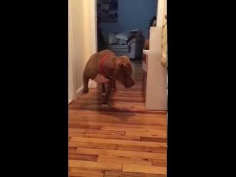 這隻比特犬在經過睡夢中的喵星人身邊時,牠的反應會讓你笑到懷疑牠到底是不是兇猛的比特犬…