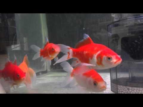 庄内金魚 9尾 飼育環境