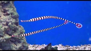 Amazing Banded Pipefish... So Cool...🐠🐟🐳🐠🐟🐳🦐🦐