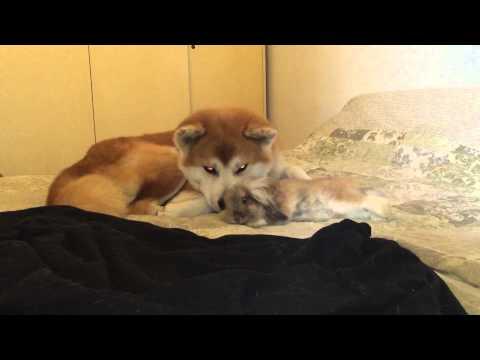 la coppia più tenera del web - akita inu ed un coniglietto