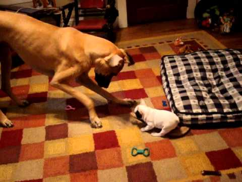 great dane vs french bulldog
