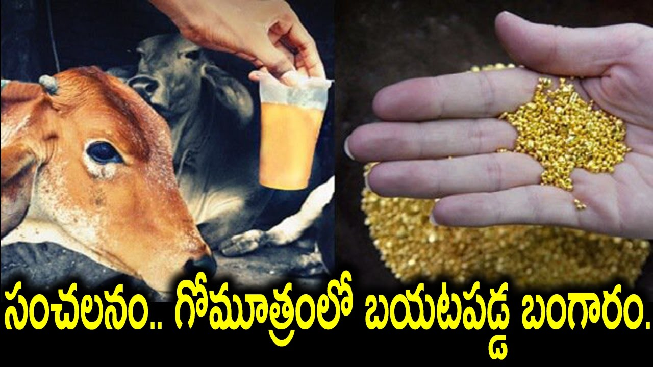 OMG ! Scientists Discover Gold in Gir Cow Urine
