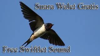 Suara Panggil RAJA Walet Kalimantan