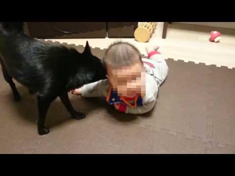 【犬と赤ちゃん】スキッパーキ クー 寝返りサポート犬