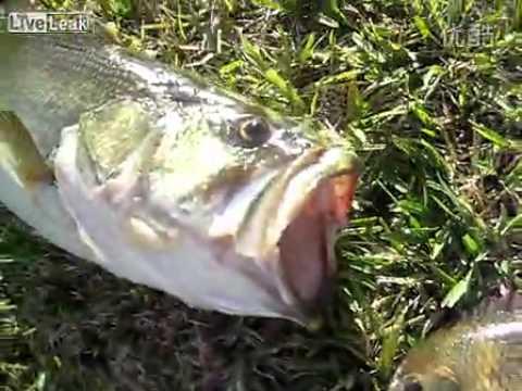 實拍大嘴鱸魚上演蛇吞象,活活撐死自己!